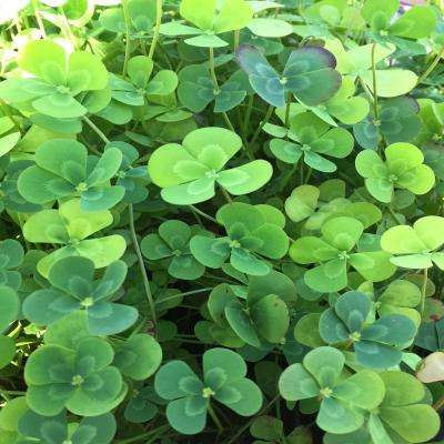 Givhandys 4 in. Potted Variegated Four Leaf Clover Bog/Marginal Aquatic Pond Plant