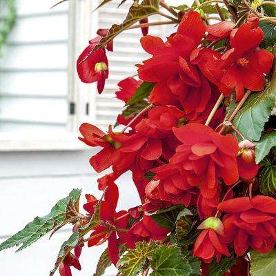 Red Pendula Begonia Bulbs (3-Pack)