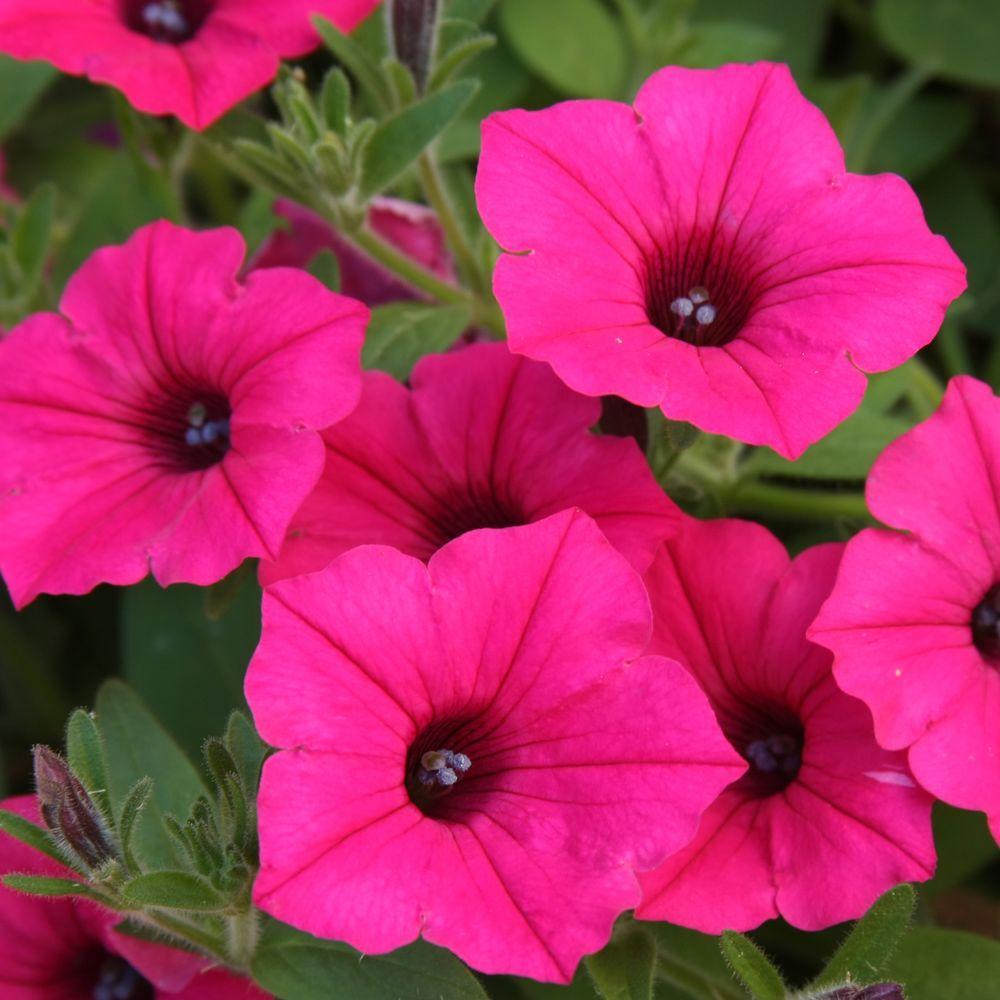 Supertunia Vista Fuchsia (Petunia) Live Plant, Pink Flowers, 4.25 in. Grande
