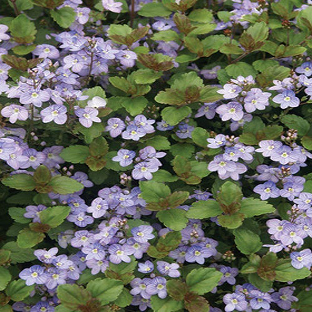 OnlinePlantCenter 1 gal. Waterperry Blue Creeping Speedwell Plant
