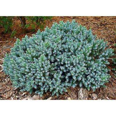 1 Gal. Blue Star Juniper Shrub Turquoise and Silver, Low Maintenance Dwarf Conifer Drought Tolerant