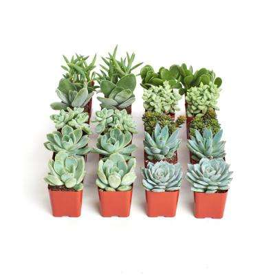 2 in. Blue/Green Collection Succulent (Collection of 20)