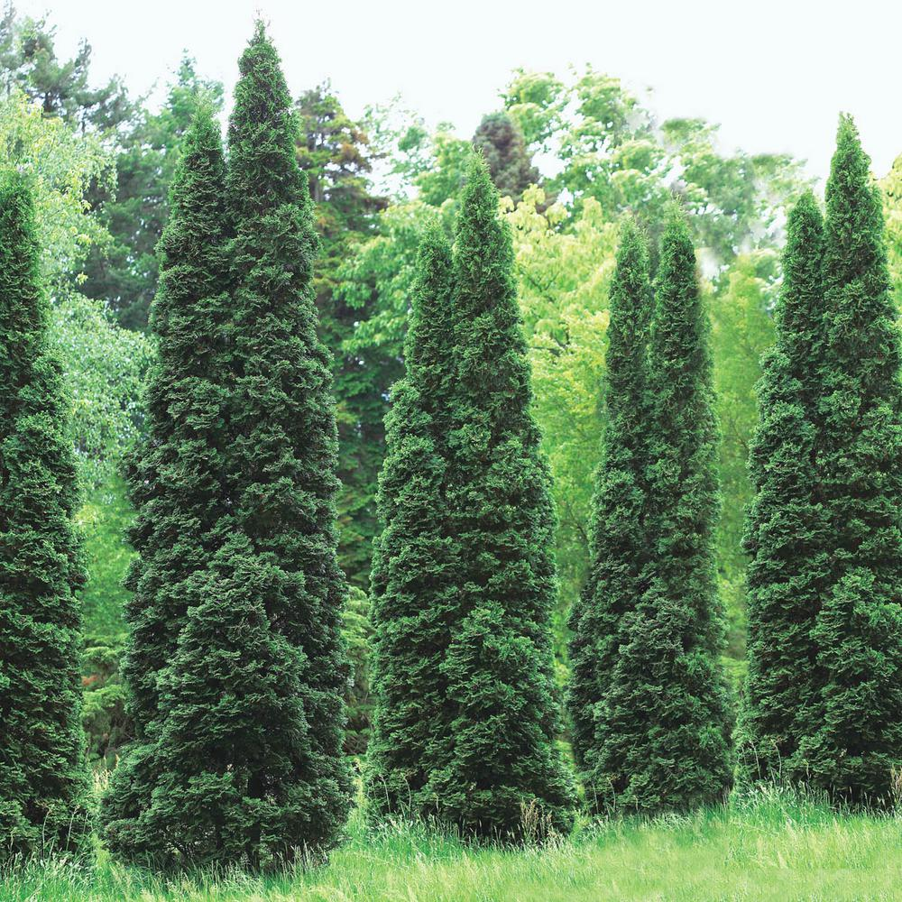 Green Giant Arborvitae Thuja Live