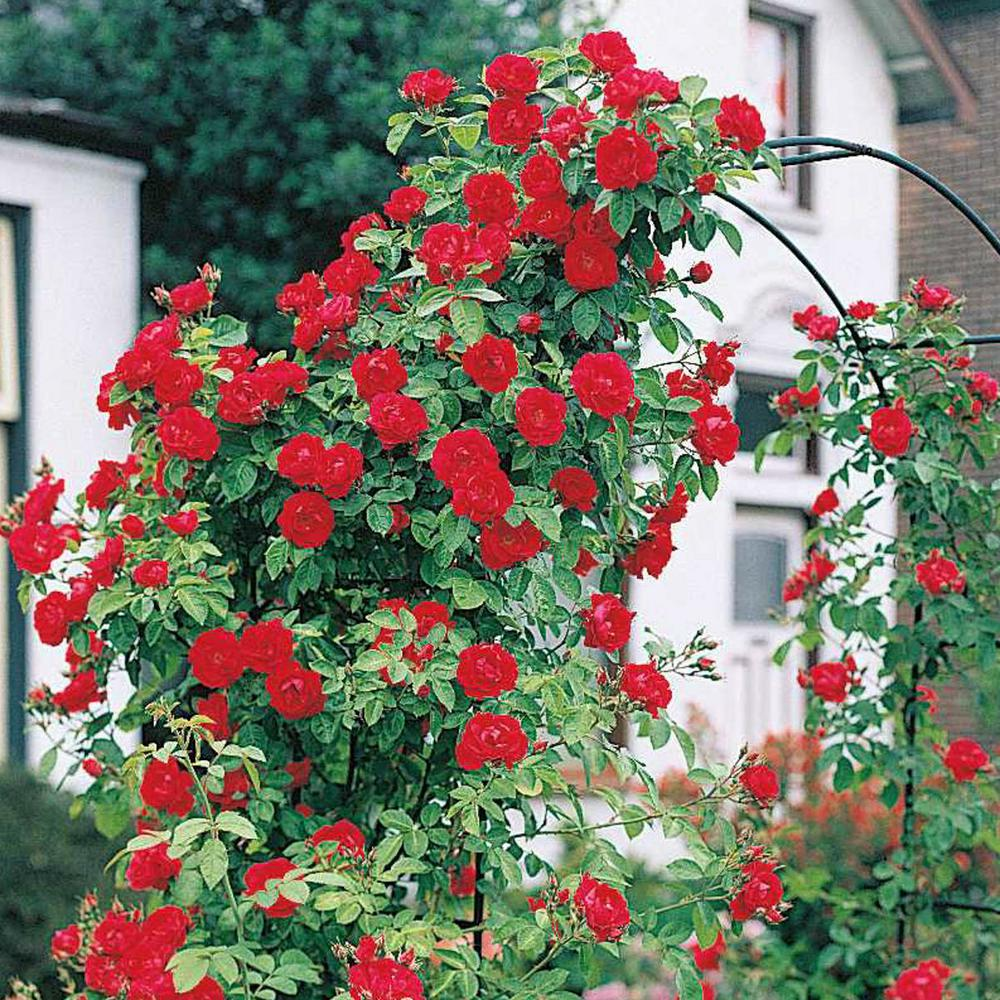 Spring Hill Nurseries Blaze Improved Climbing Rose, Live Bareroot Plant, Red Color Flowers (1-Pack)