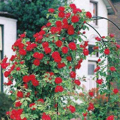 Blaze Improved Climbing Rose, Live Bareroot Plant, Red Color Flowers (1-Pack)