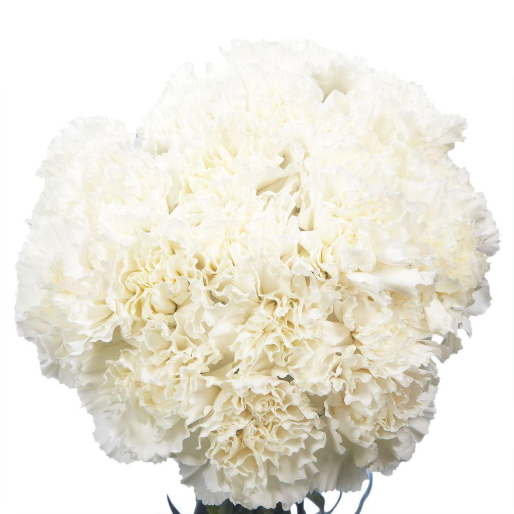 Globalrose Fresh White Carnations (200 Stems)-white-carnations-200 ...