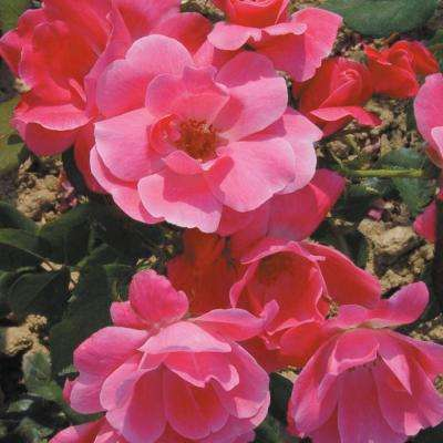 3 Gal. Pink Knock Out Rose - Live Blooming Shrub