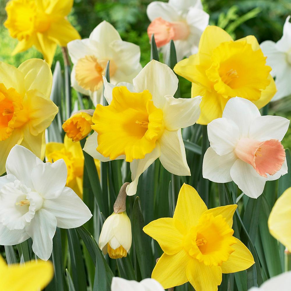 Daffodils Bulbs Naturalizing Dream Mixture (Set of 25)