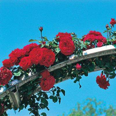 Don Juan Red Climbing Rose Flowers Live Potted Plant in 2 in. Pot (1-Pack)