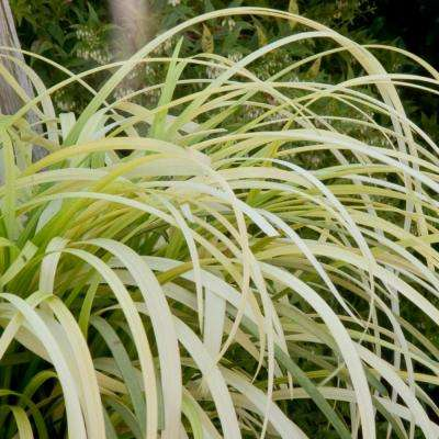 2.5 Qt. Pure Blond Liriope - Live Groundcover Grass