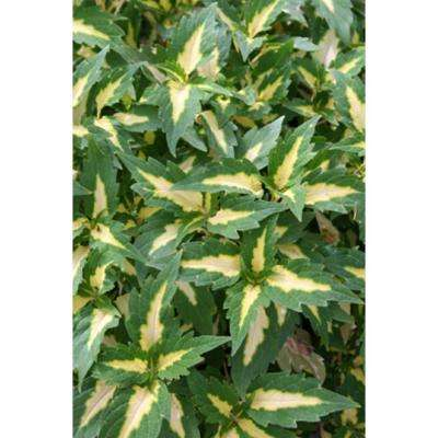 ColorBlaze Alligator Tears Coleus (Solenostemon) Live Plant, Green and Yellow Foliage, 4.25 in. Grande