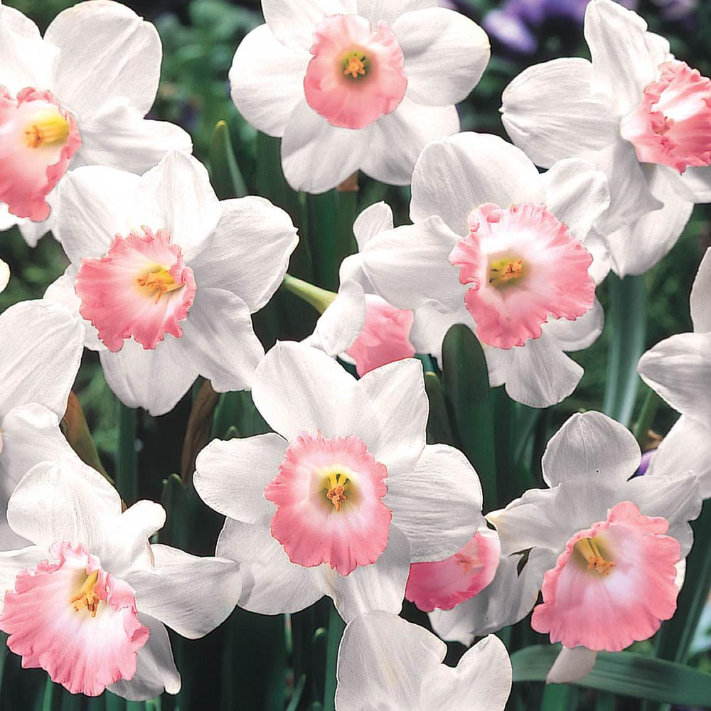 Van Bourgonn Pink Charm Daffodils Bulbs 25-Pack on flowers and names, weeds and names, wildflowers and names, protists and names, clothing and names, cell functions and names, orchids and names, pets and names, tools and names, fern leaves and names, stones and names, nuts and names, food and names, bacteria and names, elements and names, minerals and names, crystals and names, birds and names, cards and names, dogs and names,