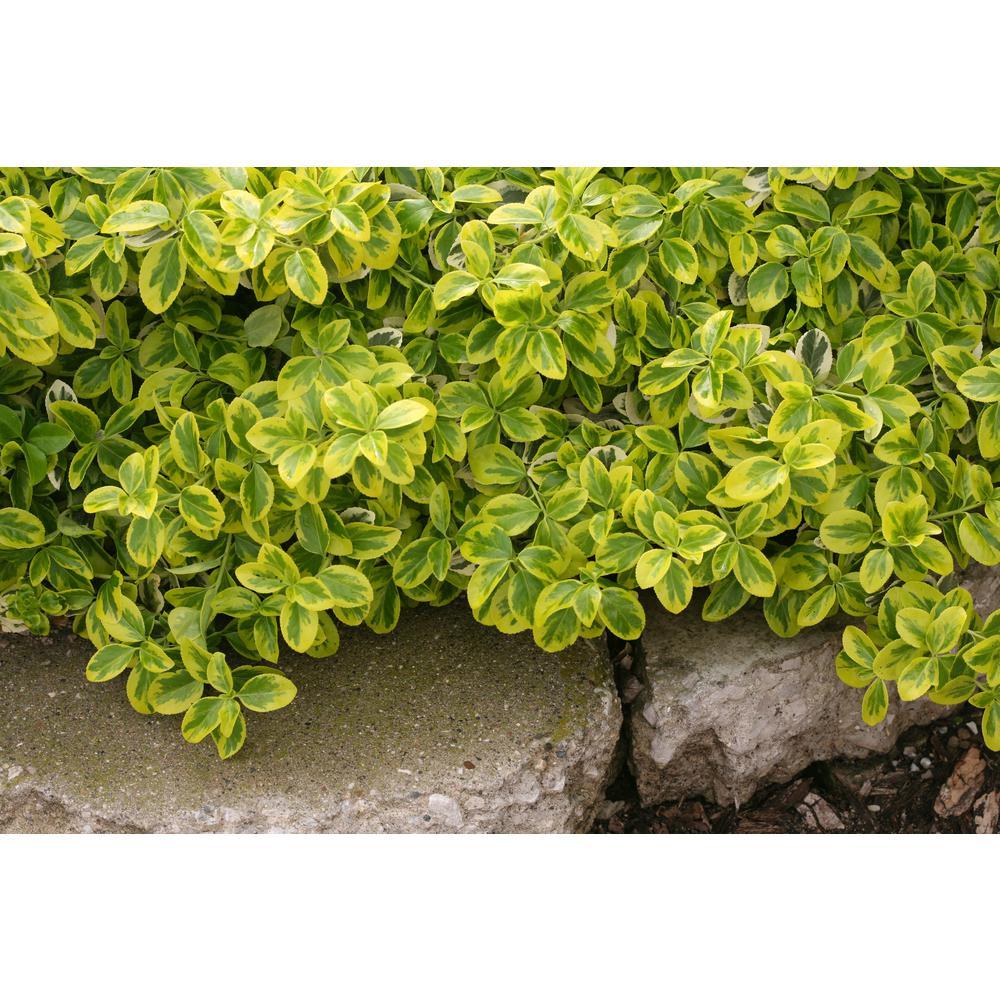 Gold Splash Wintercreeper Euonymus Live Evergreen Shrub Green And Yellow Foliage 4 5 In Qt