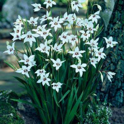 Acidanthera White and Maroon Gladiolus Bulbs (25-Pack)