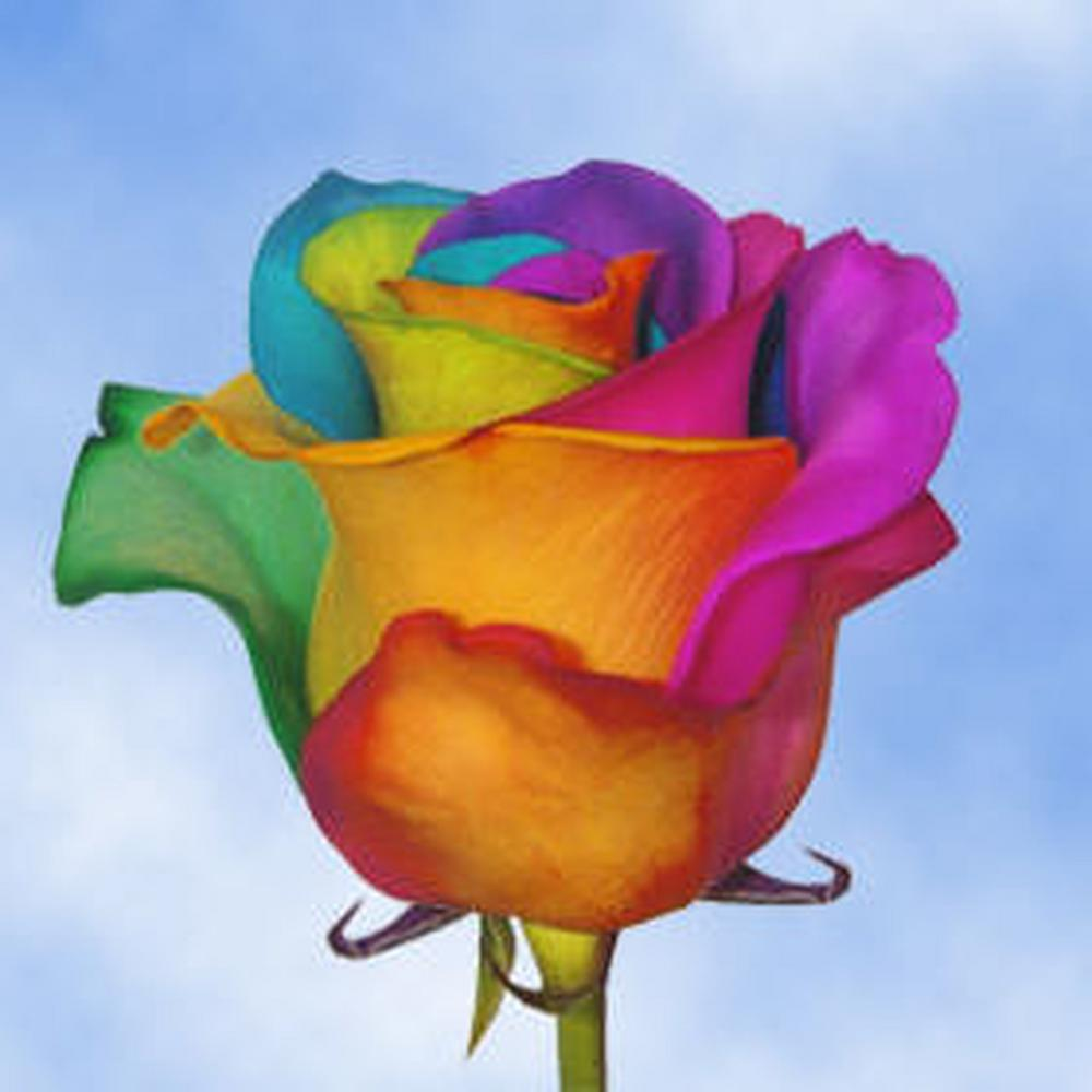 Globalrose 50 stems of multi color rainbow roses your for Dual color roses