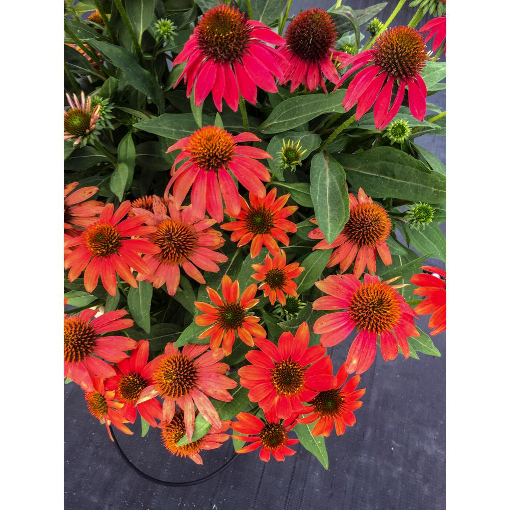 4.5 in. Qt. Lakota Santa Fe Coneflower (Echinacea) Red-Orange Flowers Live