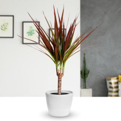 4 in. Magenta Dracaena Plant in Black Pot (4-Piece)