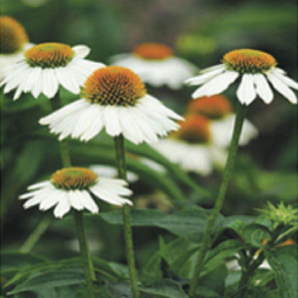 25 Qt Pow Wow White Echinacea With White Blooms And Yellow Centers