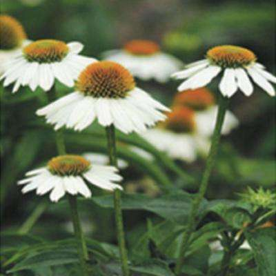 Daisy white full sun perennials garden plants flowers 25 qt pow wow white echinacea with white blooms and yellow centers live perennial mightylinksfo