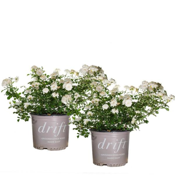 3 Gal. White Drift Rose Bush (2-Pack)