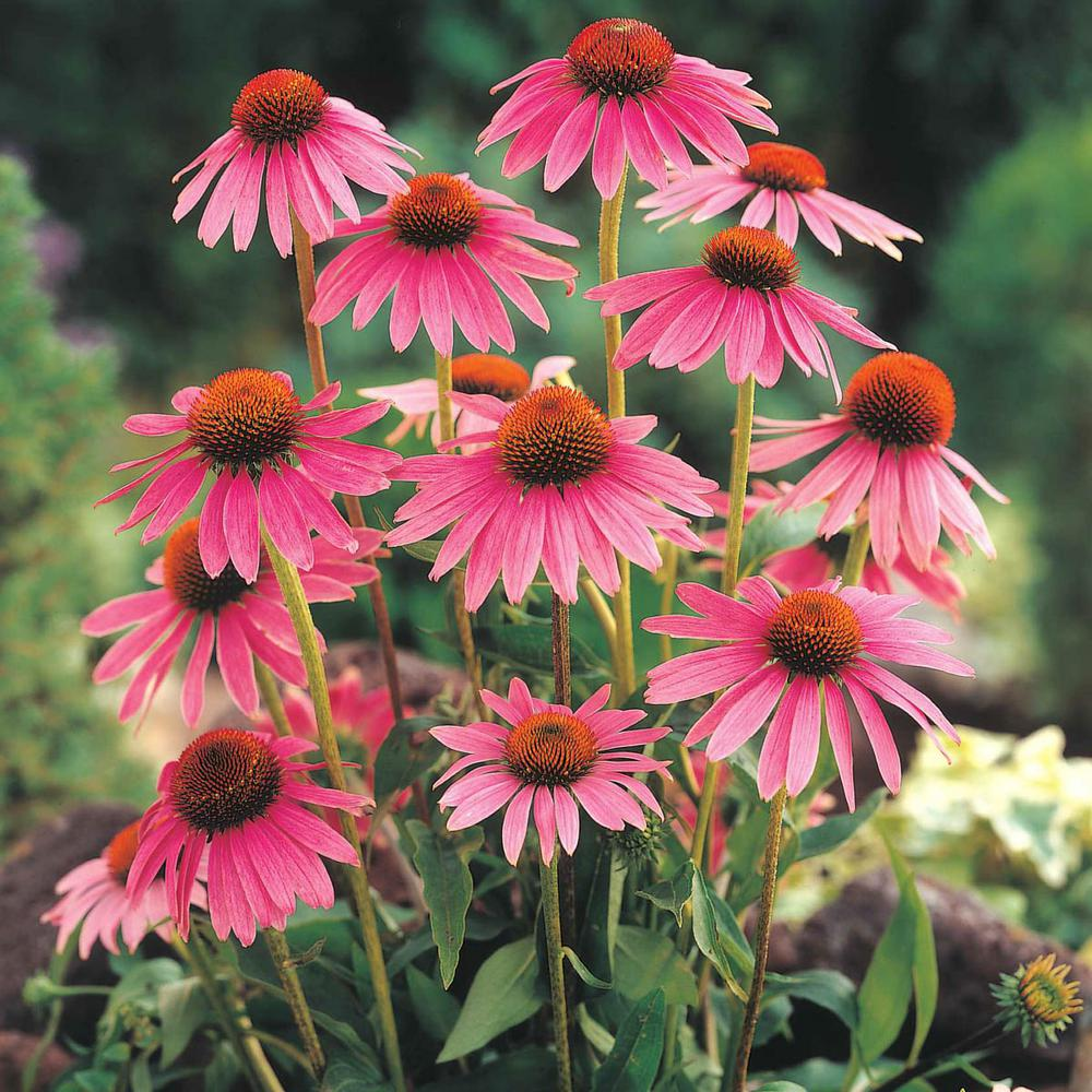 2 in. Pot Echinacea Herb Plant, Live Potted Herb Plant (1-Pack)