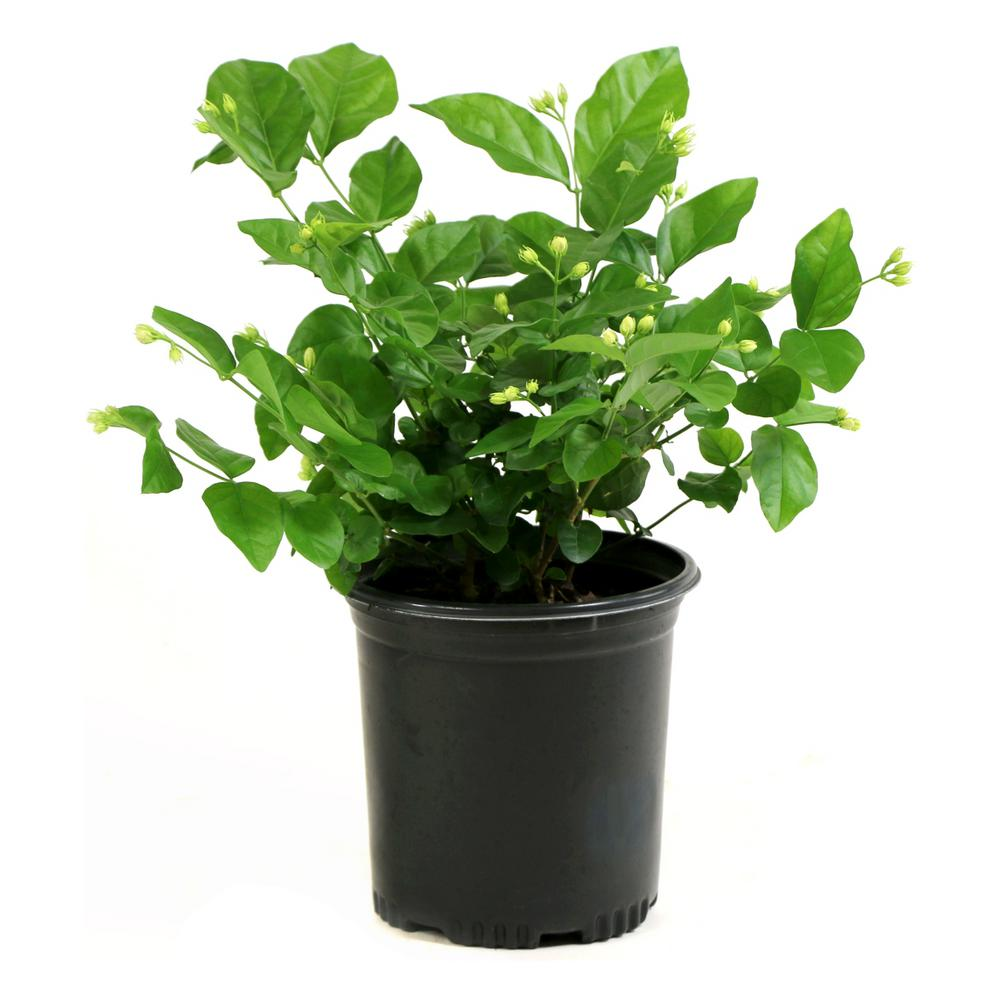 Cottage Farms Direct 2 5 Qt Sambac White Jasmine Arabian Plant In Pot Hd1003 The Home Depot