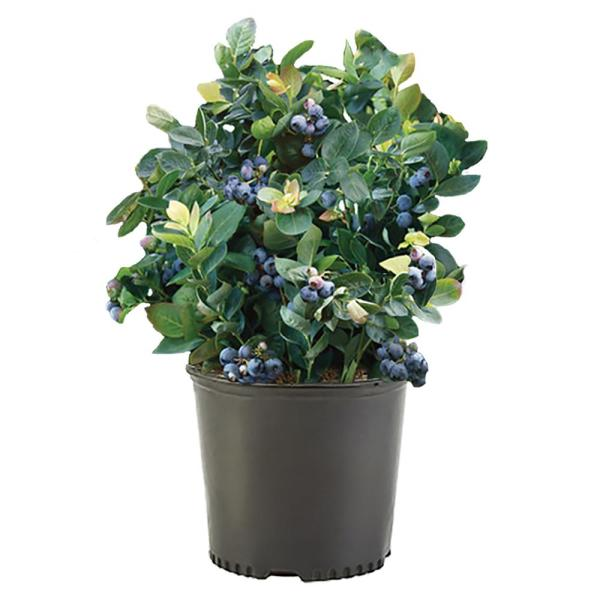 2.25 Gal. North Country Blueberry Plant with White Flowers and Green Foliage