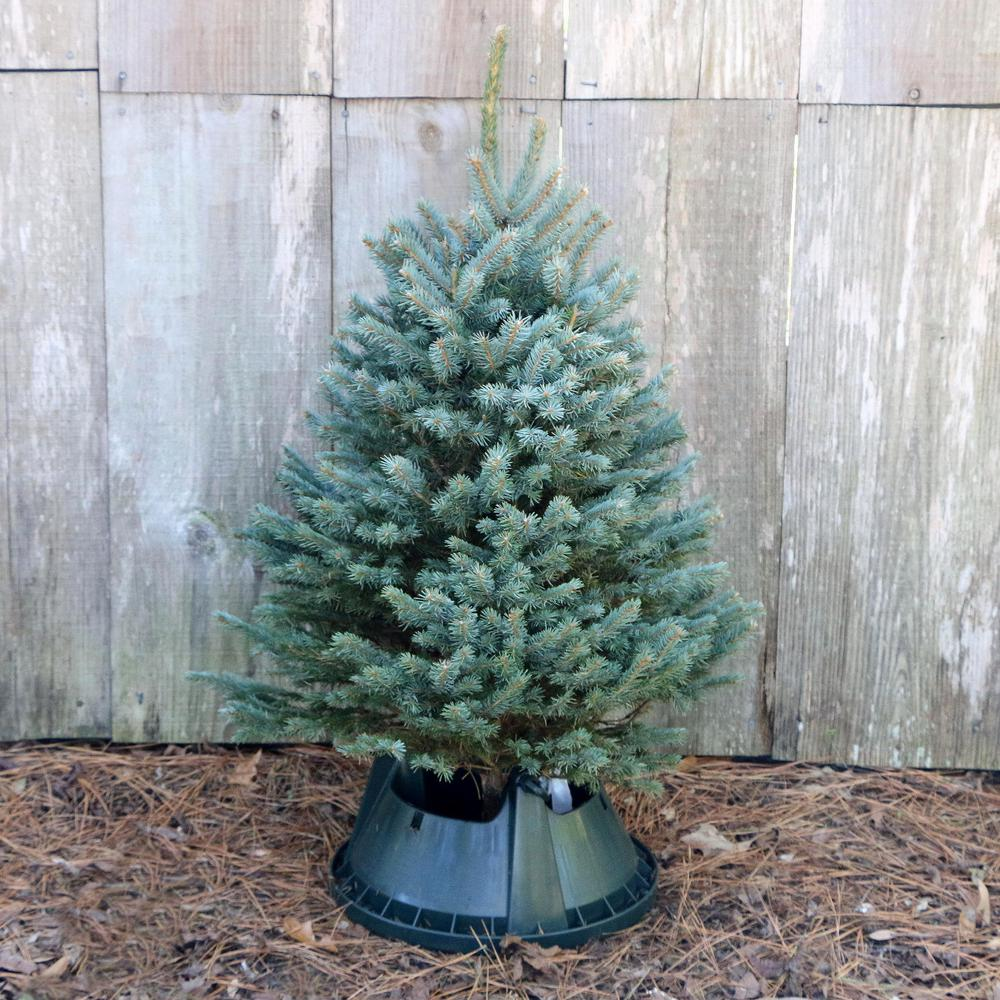 3 ft. to 4 ft. Freshly Cut Blue Spruce Real Christmas Tree