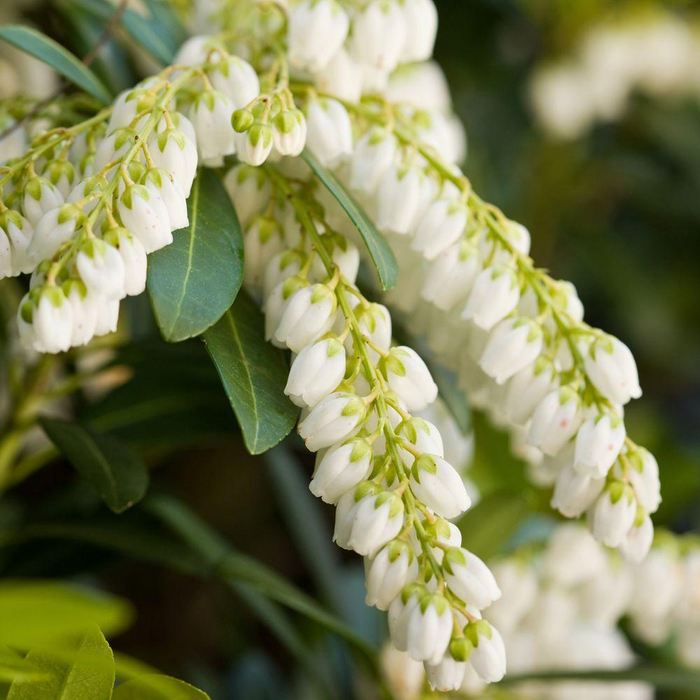 Southern living plant collection 2 gal mountain snow pieris southern living plant collection 2 gal mountain snow pieris evergreen shrub clusters of mightylinksfo