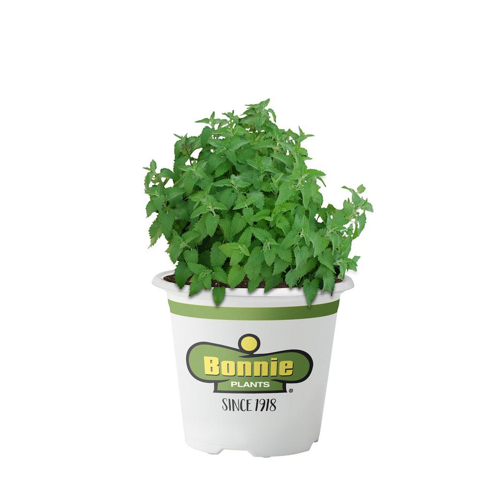 Bonnie Plants Catnip Perennial herb in zones 4-10. Aromatic leaves are a favorite for felines. Member of the mint family that drives cats wild. Leaves good for tea. Produces clusters of white flowers with purple dots that attract pollinators. Plant in full sun in containers.