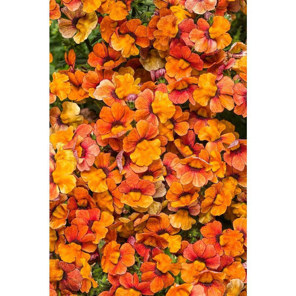 Sunsatia Blood Orange (Nemesia) Live Plant, Orange Flowers, 4.25 in. Grande, 4-pack
