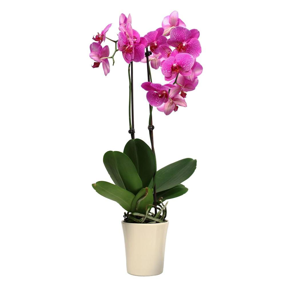 just add ice orchids 5 in orchid in ceramic deco pot 270780 the home depot. Black Bedroom Furniture Sets. Home Design Ideas