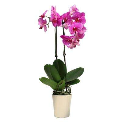 5 in. Orchid in Ceramic Deco Pot