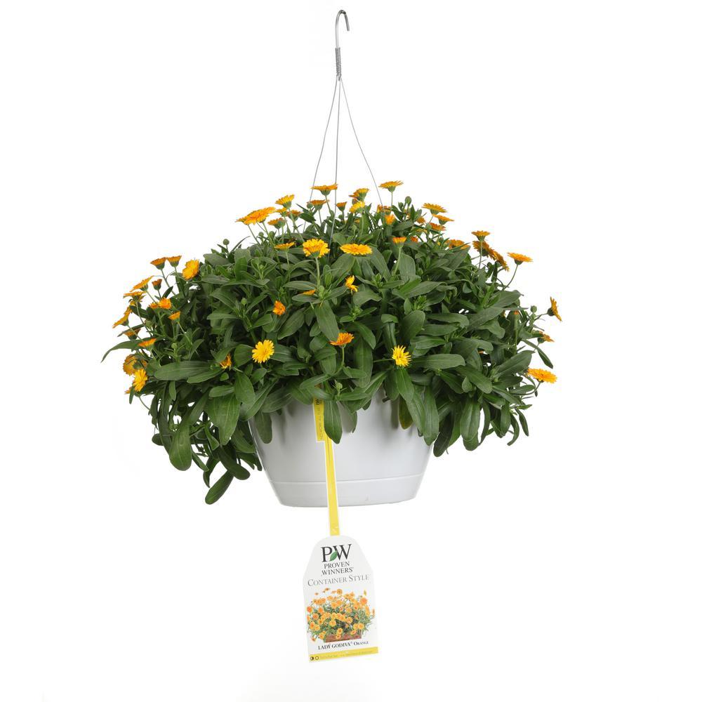Proven Winners 10 in. Lady Godiva Orange Mono Hanging Basket (Calendula) Live Plant, Orange Flowers