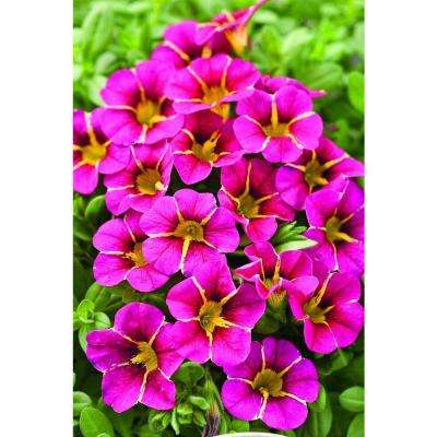 Superbells Cherry Star (Calibrachoa) Live Plant,Pink Flowers with a Yellow Star, 4.25 in. Grande