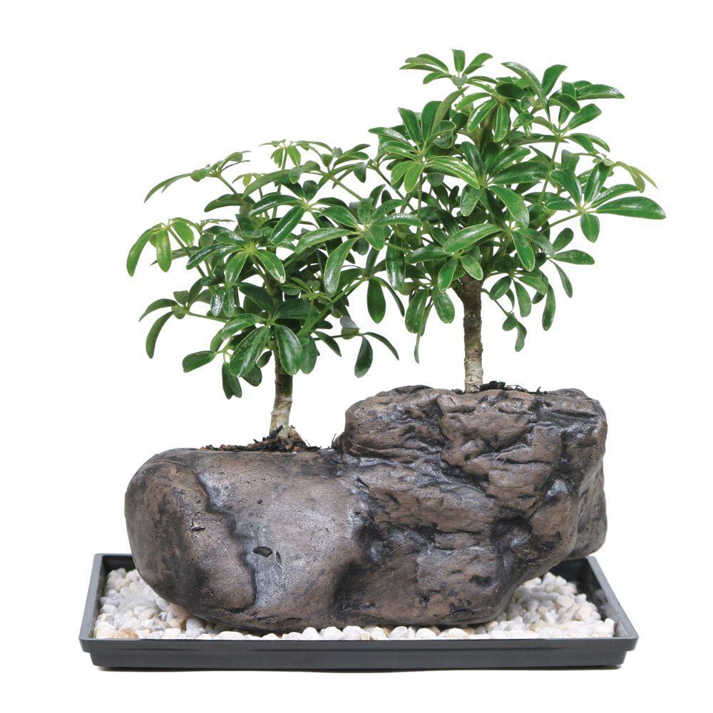 Reviews For Brussel S Bonsai Dwarf Hawaiian Umbrella Tree On Rock Bonsai Dt 8002arbr The Home Depot
