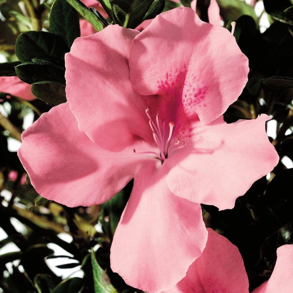 Encore Azalea 1 Gal. Autumn Debutante - Re-Blooming Evergreen Shrub with Soft-Pink Blooms
