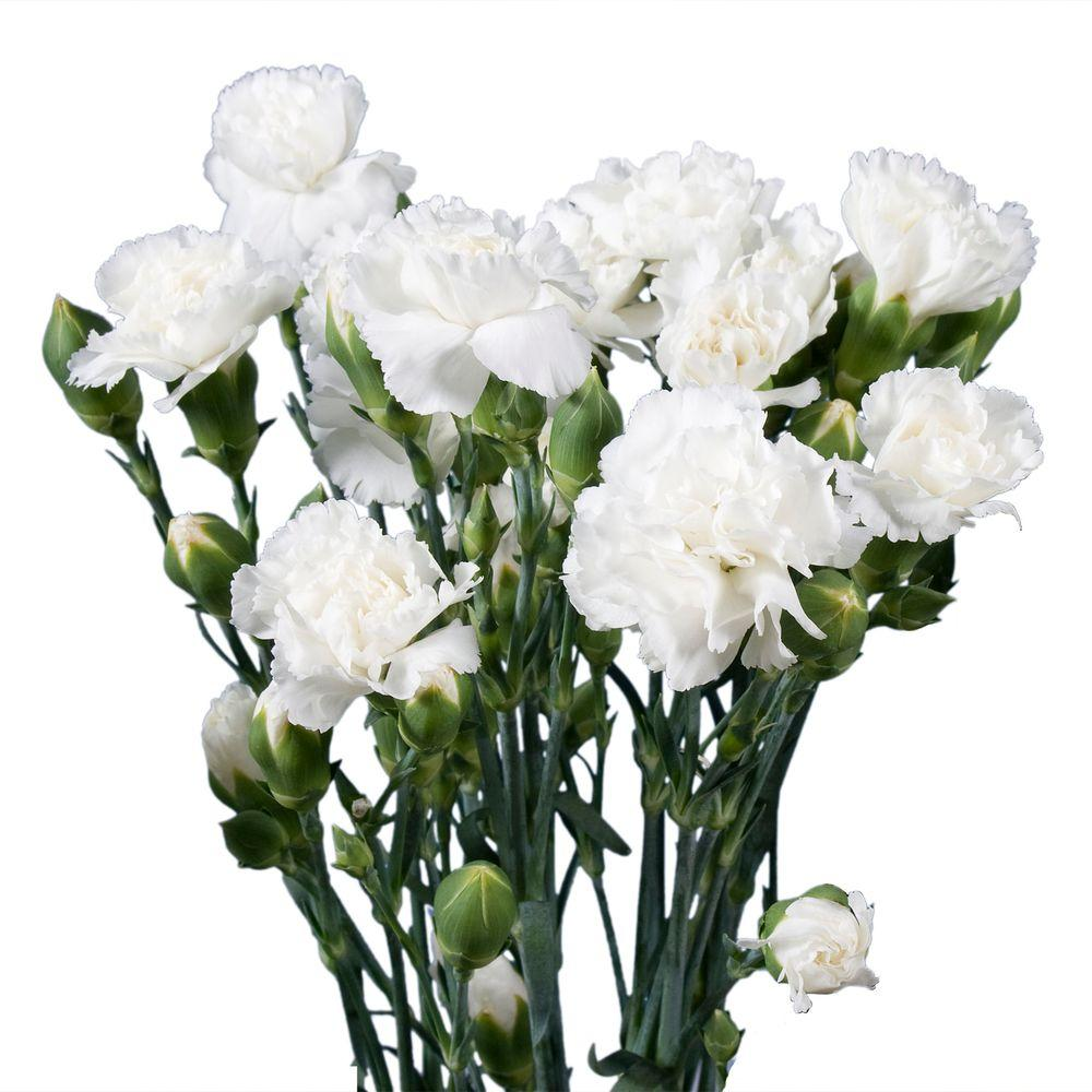 Globalrose Fresh White Mini Carnations (160 Stems - 640 Blooms)-mini ...