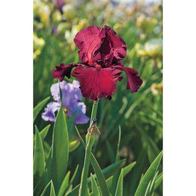 Spartan Bearded Iris Deep Red Colored Flowers Live Bareroot Plant