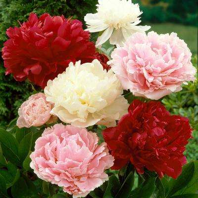 Peonies Bulbs Mixed Colors Set Of 6 Roots