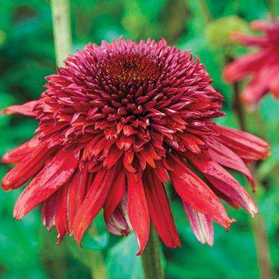 Eccentric Coneflower (Echinacea) Live Bareroot Perennial with Red Flowers (3-Pack)