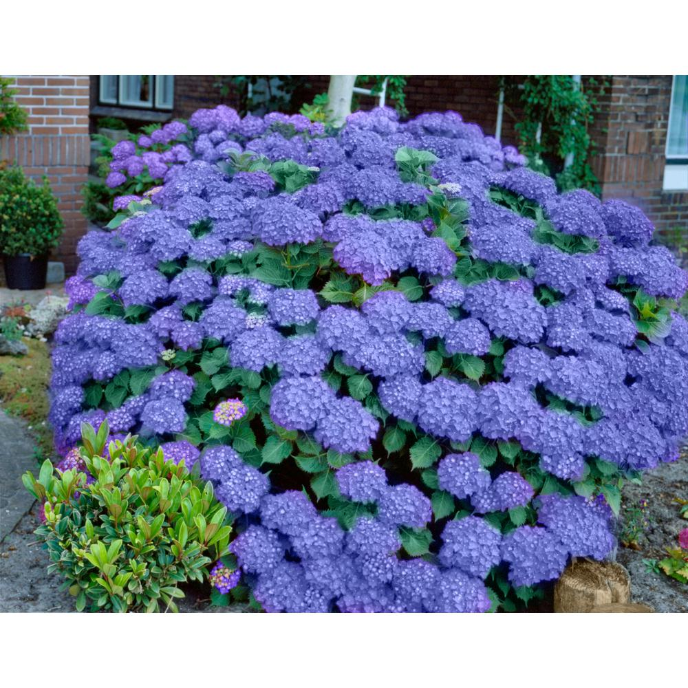 National Plant Network 2 5 Qt Penny Mac Hydrangea Shrub With Blue