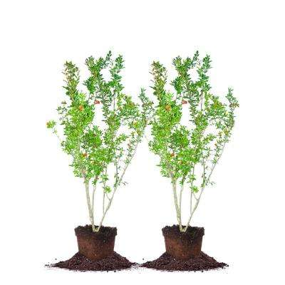 2 Gal. Wonderful Pomegranate Tree (2-Pack)