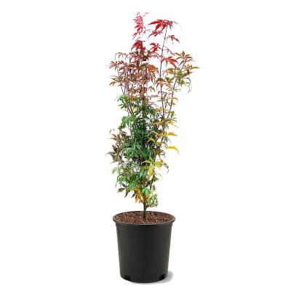 #3 pot Bloodgood Red Japanese Maple Tree