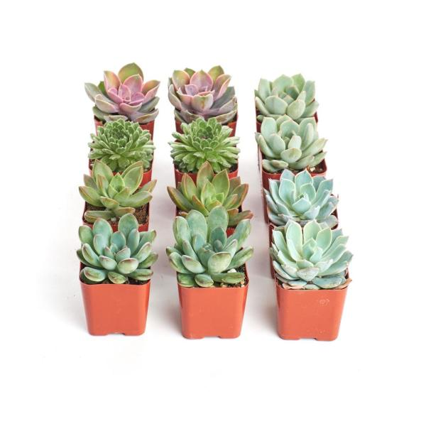 2 in. Rosette Succulent (Collection of 12)