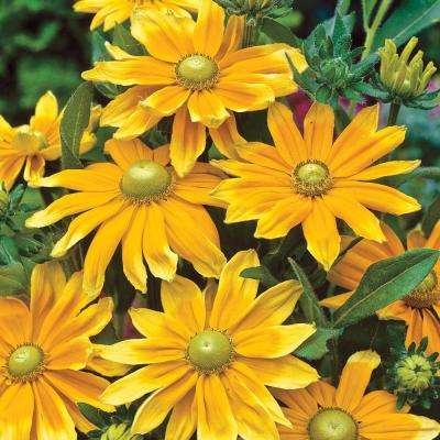 2 in. Pot Yellow Flowers Prairie Sun Black Eyed Susan (Rudbeckia) Live Potted Perennial Plant (1-Pack)