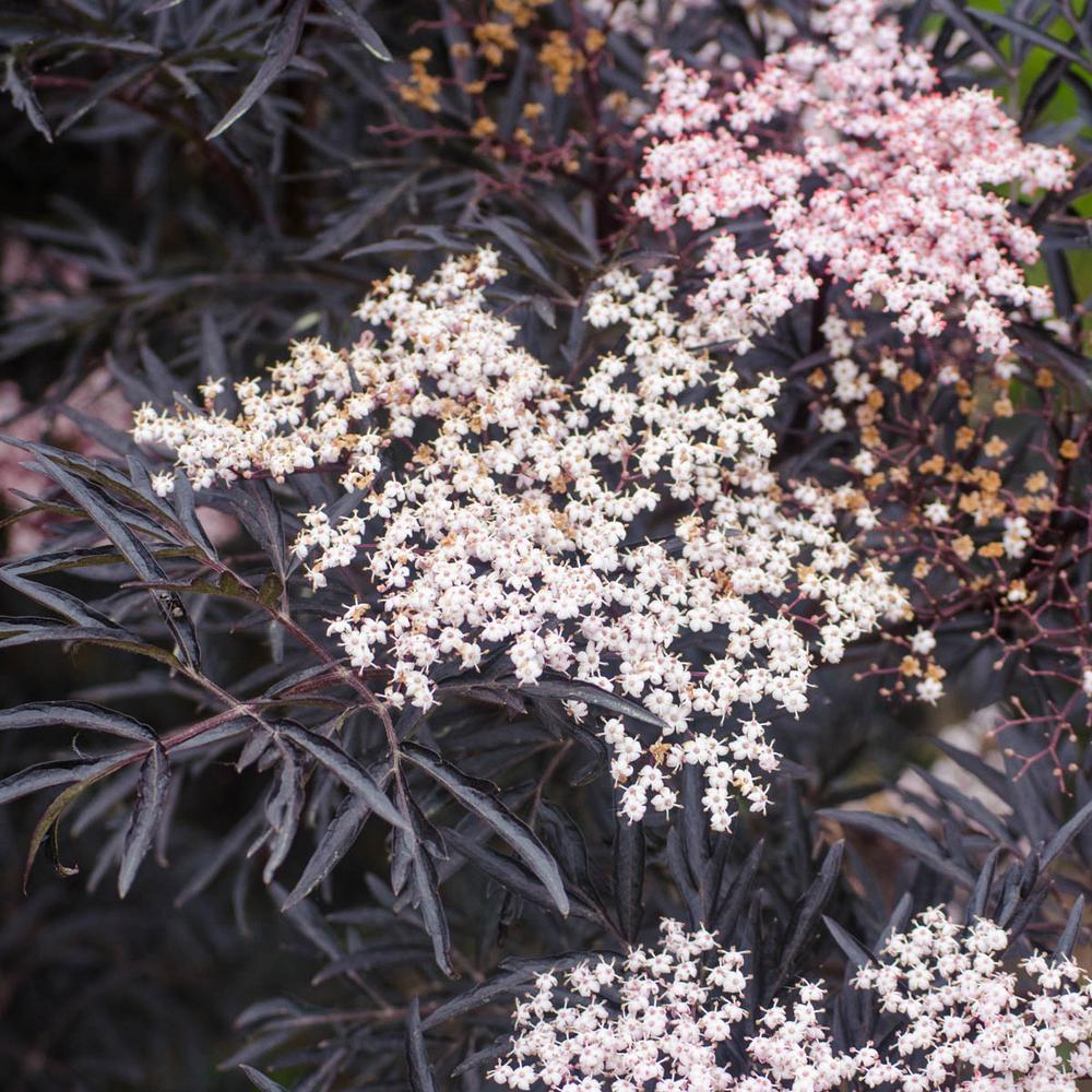 Spring Hill Nurseries 1  Gal. Proven Winner Black Lace Elderberry (Sambucus), Live Deciduous Plant, Pink Flowers with Dark Foliage (1-Pack)