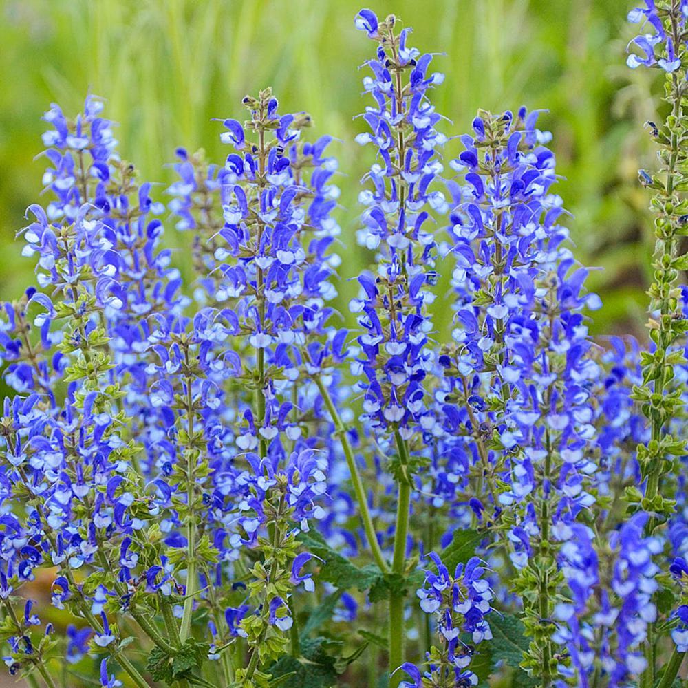 Azure Snow Salvia, Live Bareroot Perennial Plant, White Flowers (1-Pack)