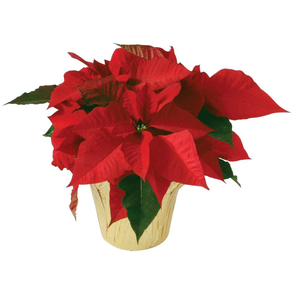 45 In Poinsettia In Store Only 10024 The Home Depot