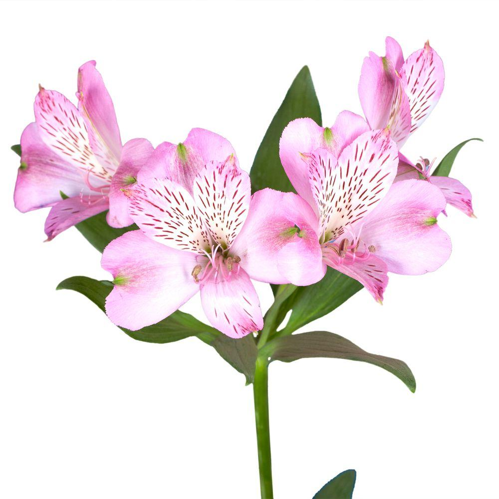 Fresh Pink Alstroemeria Flowers (80 Stems - 320 Blooms)